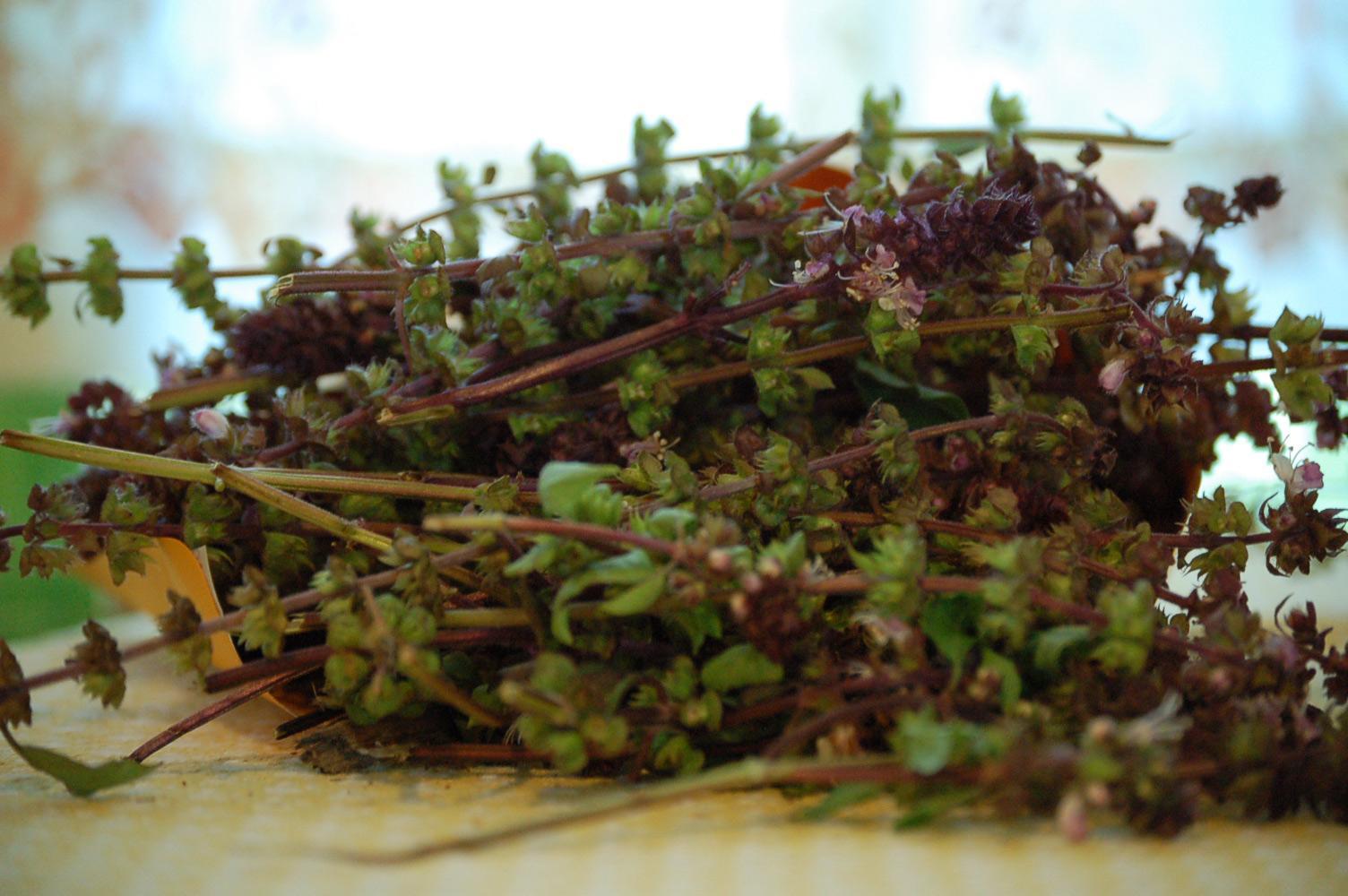 Harvesting Basil Seeds